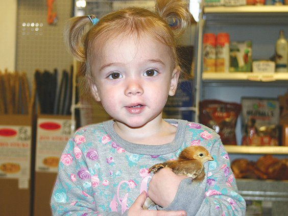 chicken girl- Spring has Hatchedd-  20-month-old Maelynn Harris holds a baby chick at the Crooked Stick Feed Store to celebrate the first day of Spring.jpg