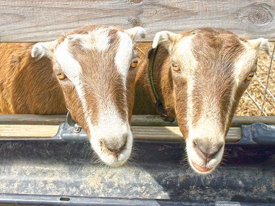 harmony- goats sticking their heads out.jpg